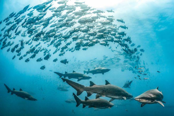 Tiburones toro y paguaras