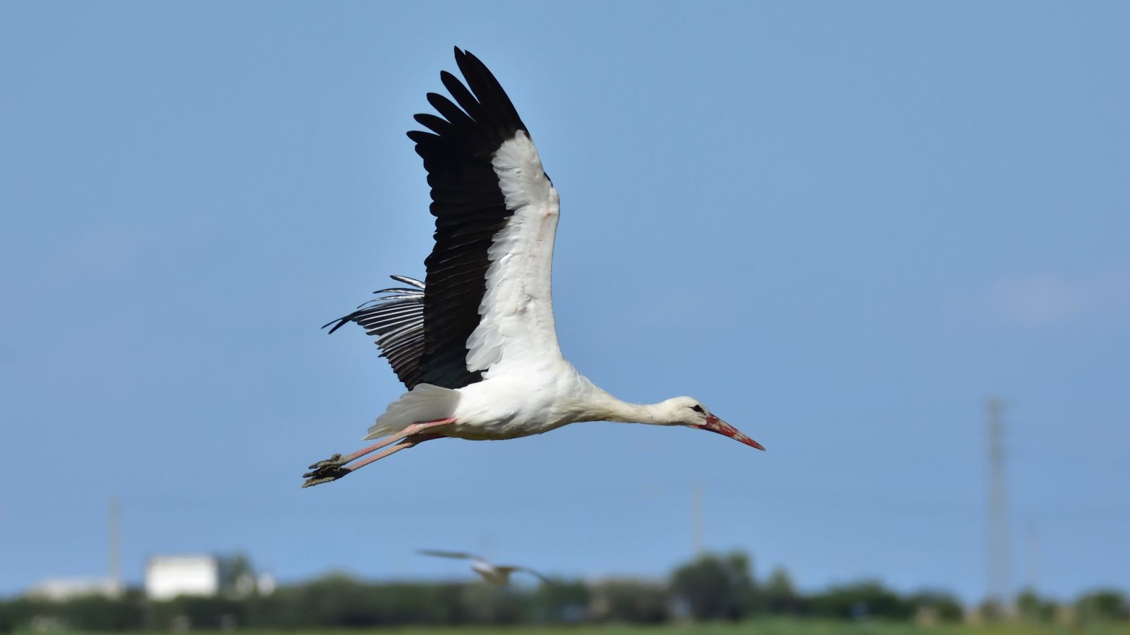 Cigüeña migración