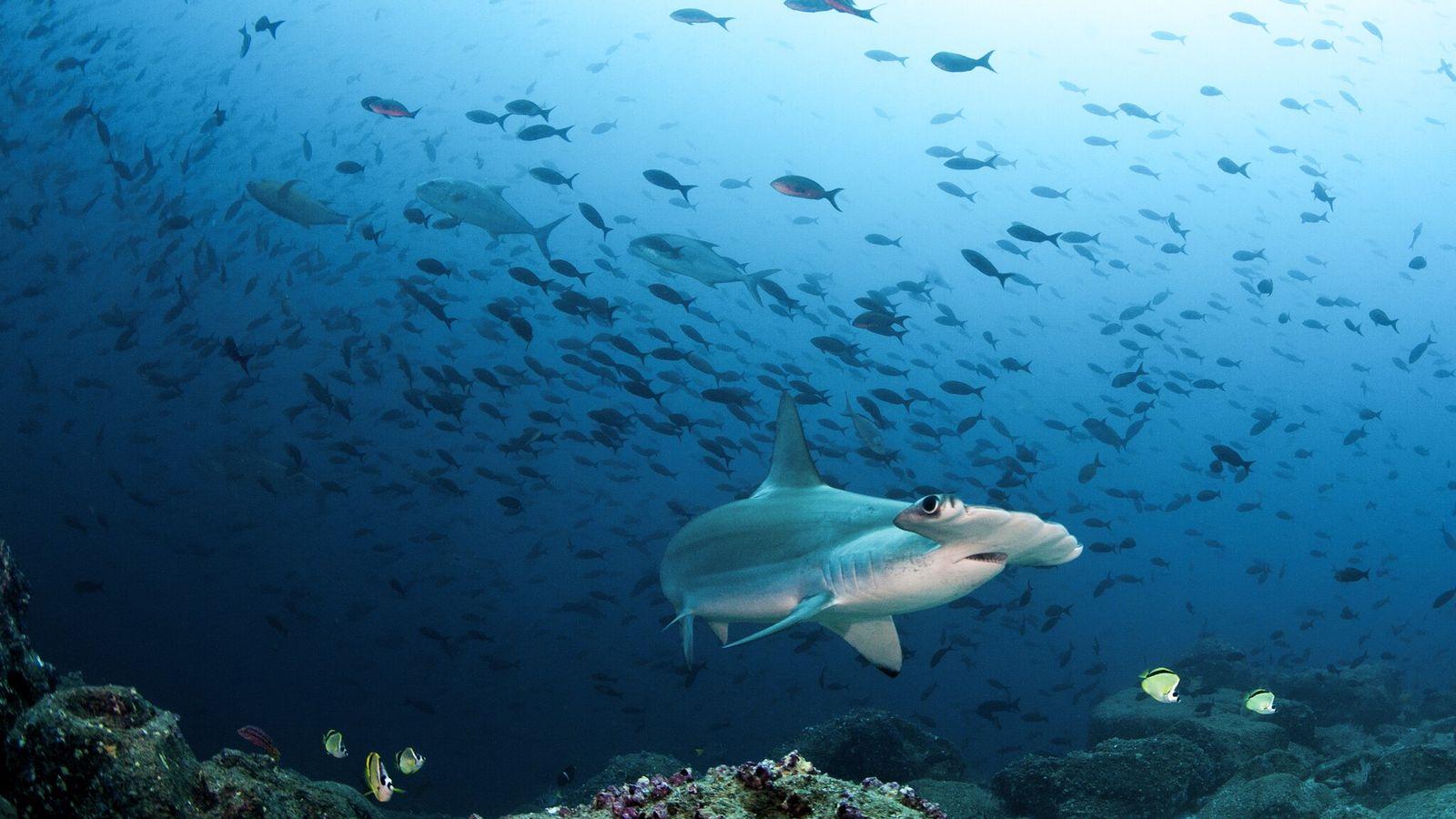 Cornudas comunes nadan en la costa de las Galápagos