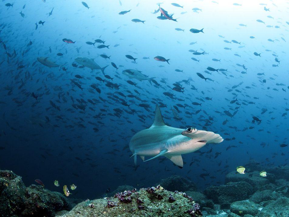 Por qué una vacuna anti-COVID-19 podría poner en peligro a los tiburones de aguas profundas