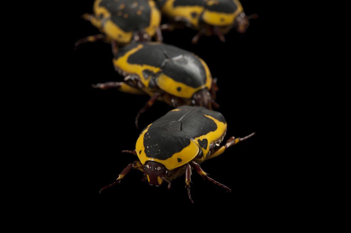 Photo Ark: Escarabajos