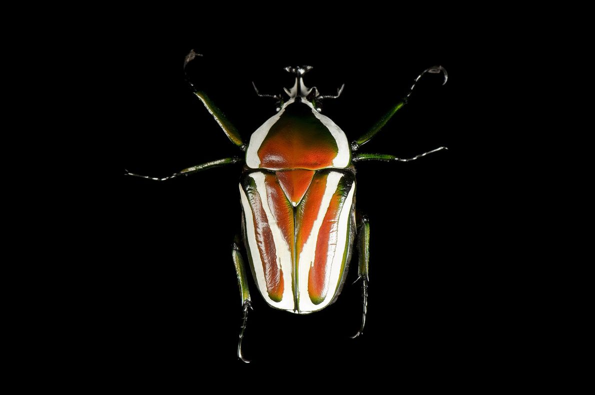 Dicronorrhina derbyana