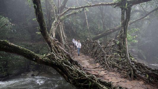 Fotografías surrealistas de los puentes de raíces vivas de la India
