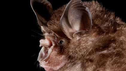 Los humanos estamos creando focos donde los murciélagos pueden transmitir enfermedades zoonóticas