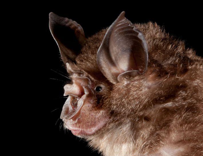Fotografía de un murciélago de herradura chino