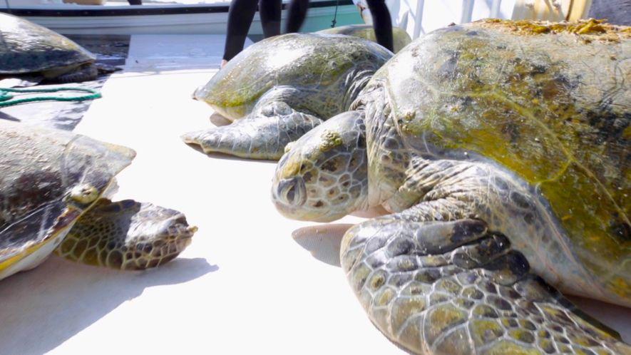 Un equipo de científicos rastrea a las misteriosas tortugas verdes del golfo Pérsico