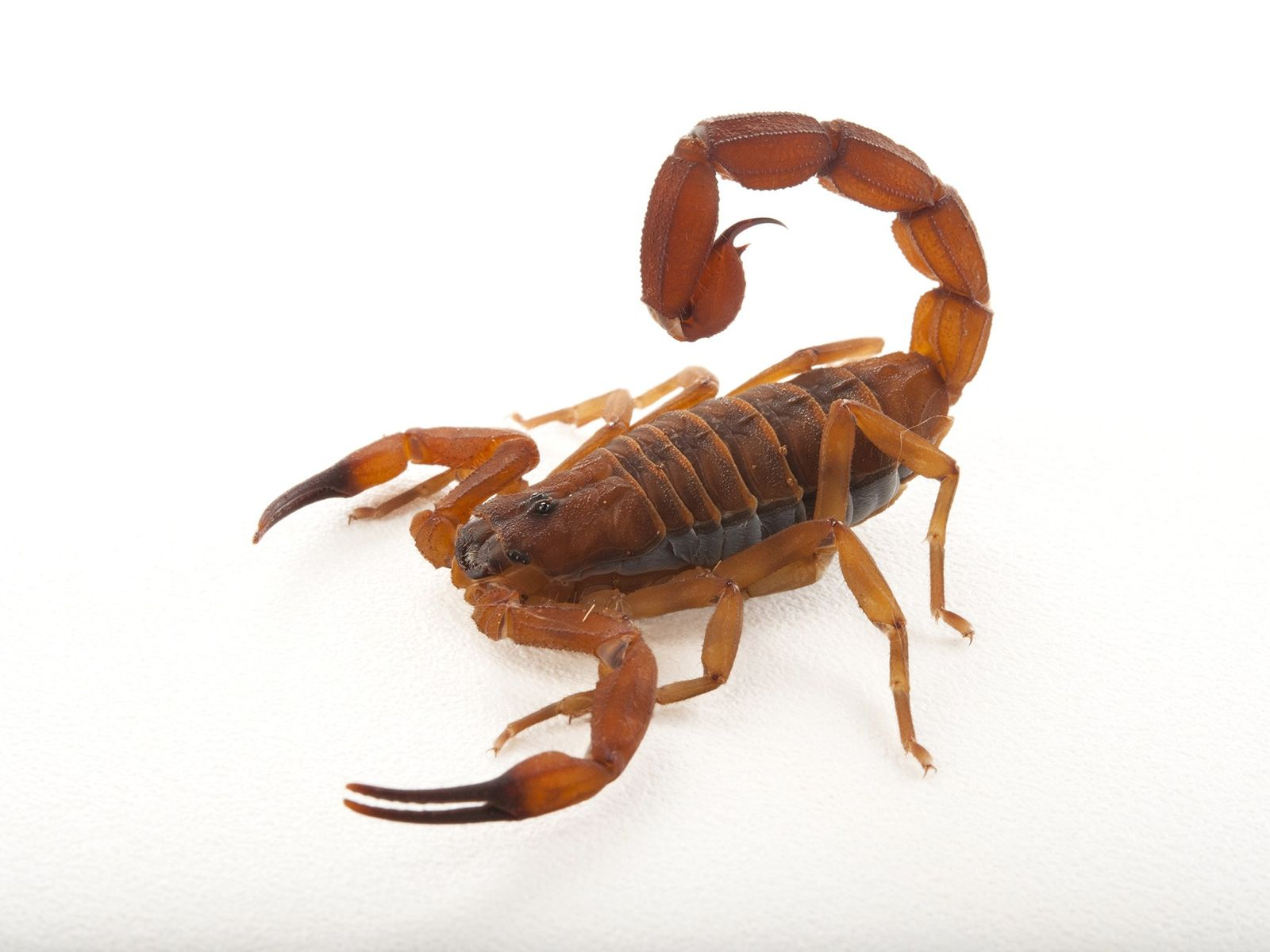 Escorpión Babycurus jacksoni