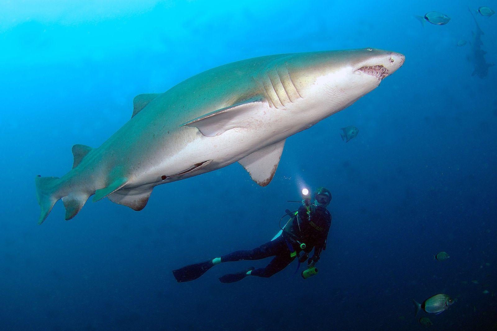 Tiburón toro y buceador