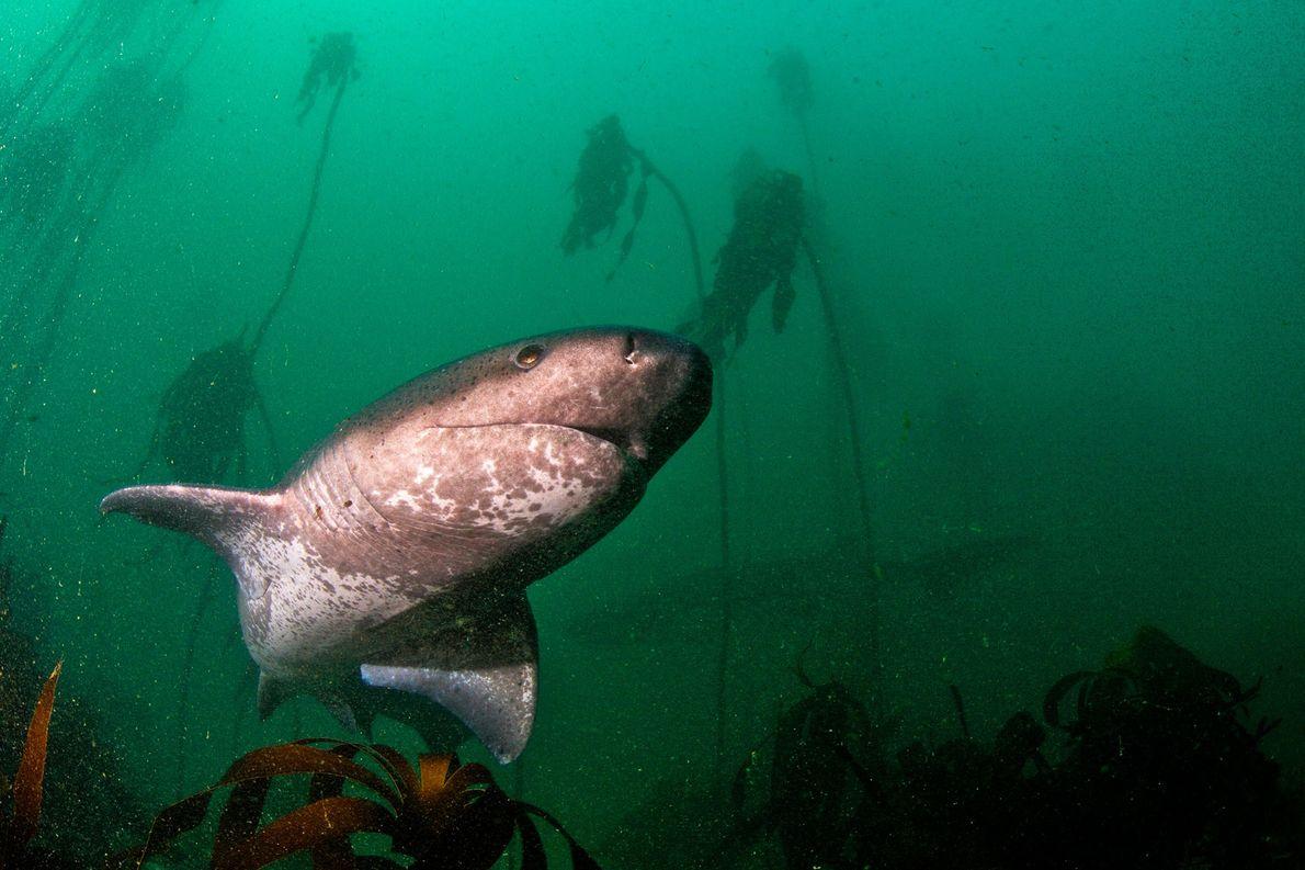 Tiburón vaca de hocico corto.