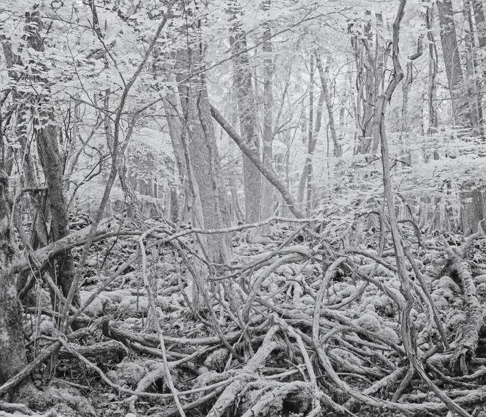 Una maraña de vides silvestres que crecen dentro del bosque.