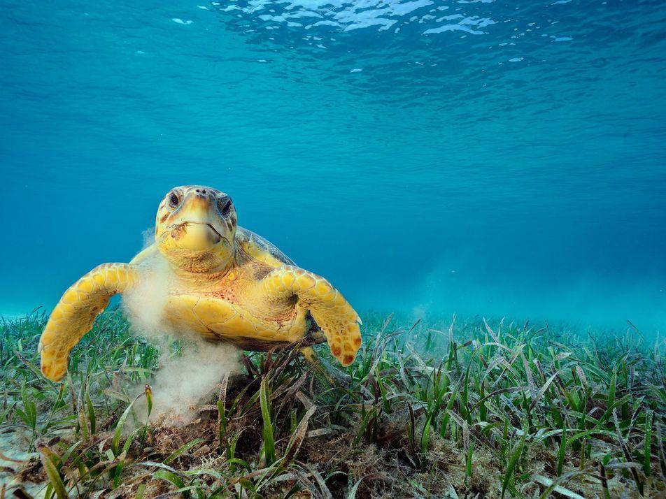 Las tortugas marinas pueden transportar más de 100.000 organismos diminutos en sus caparazones