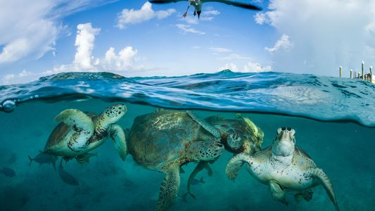 Las tortugas marinas sobreviven pese a los obstáculos que les ponemos