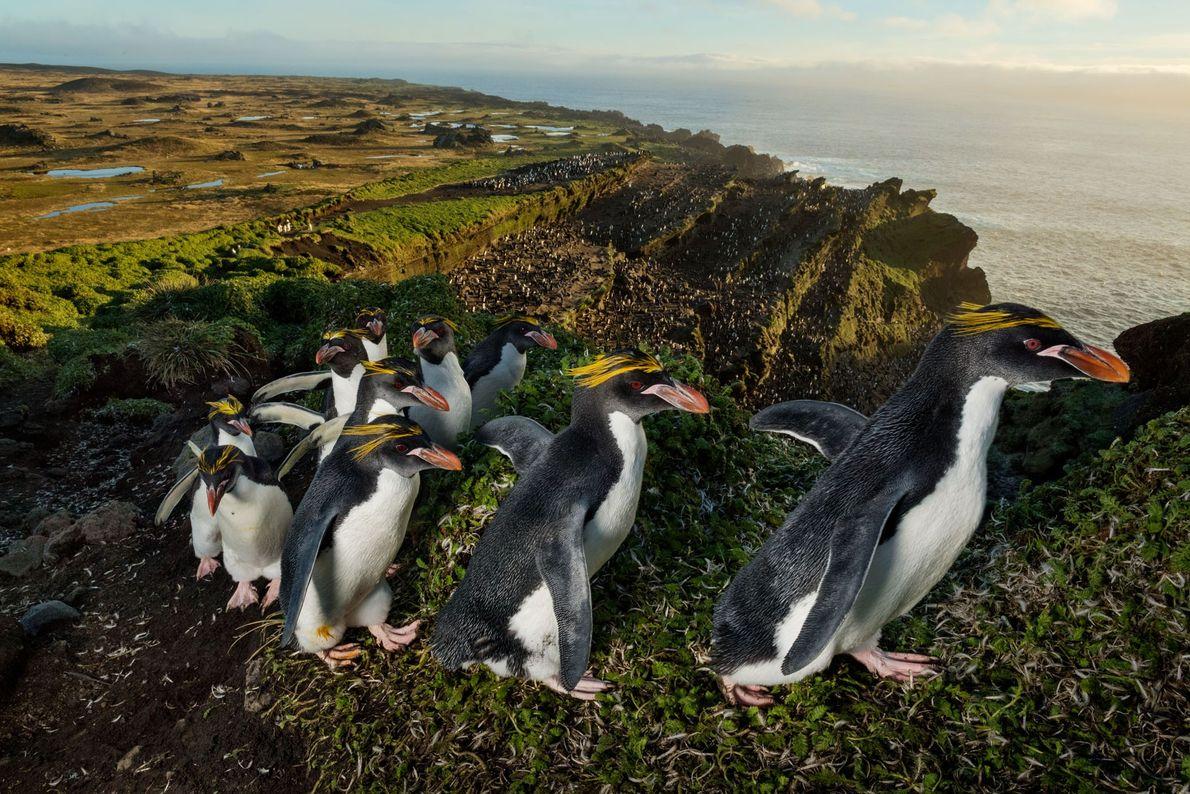 Pingüinos macaroni