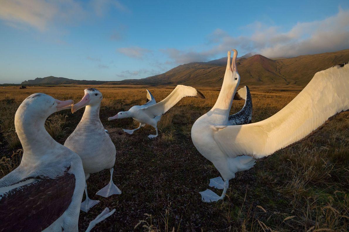 Albatros viajeros