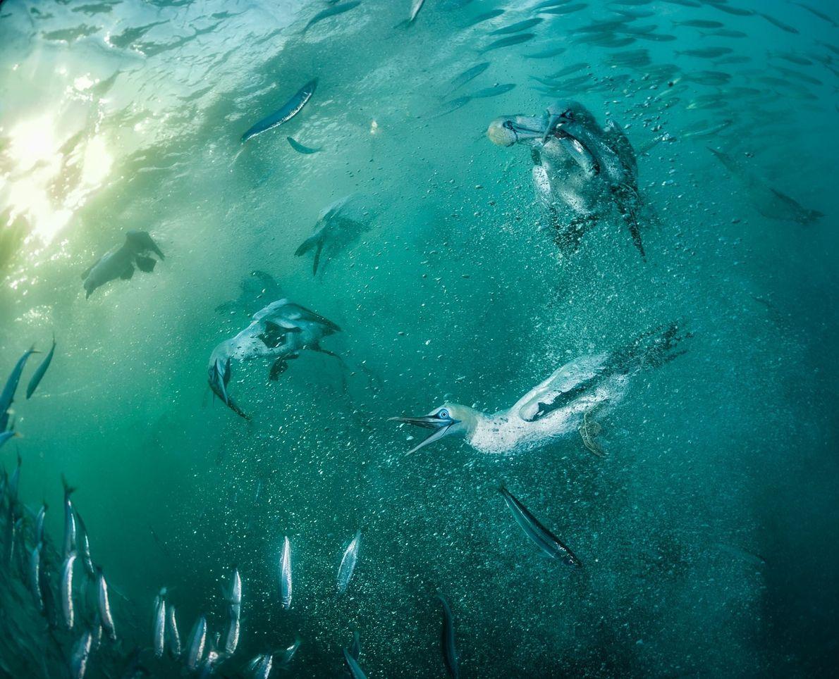 Alcatraces de El Cabo