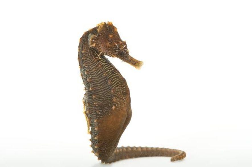 Un caballito de mar Hippocampus erectus fotografiado en el zoo y acuario de Henry Doorly en …