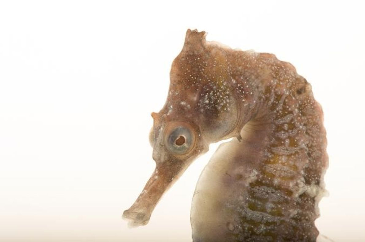 Hippocampus whitei