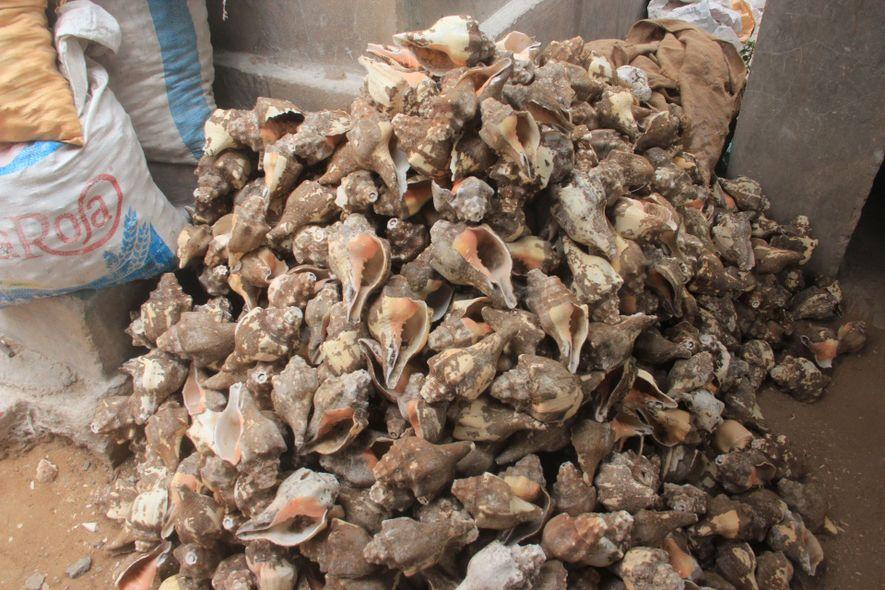 Las caracolas se llevan a una central de procesado en la India, donde las limpian, secan ...