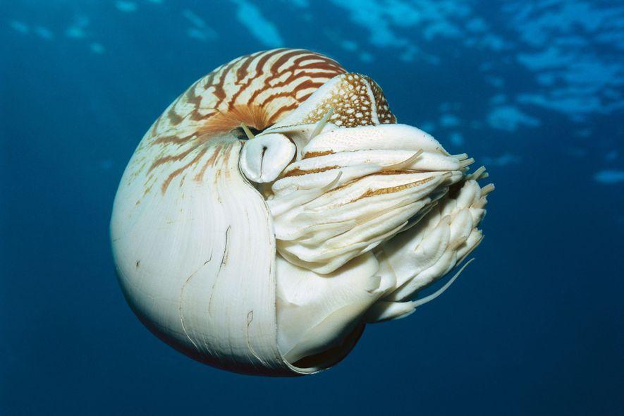 La concha del Nautilus pompilius es popular en la joyería y la decoración del hogar, pero ...