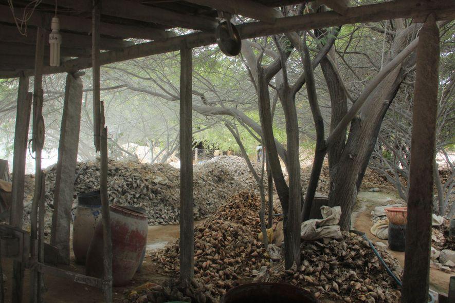 Caracolas en una fábrica de Kanyakumari, en la punta meridional de la India, aguardan a ser ...