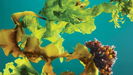 Los «bosques» de algas podrían ayudar a combatir el cambio climático