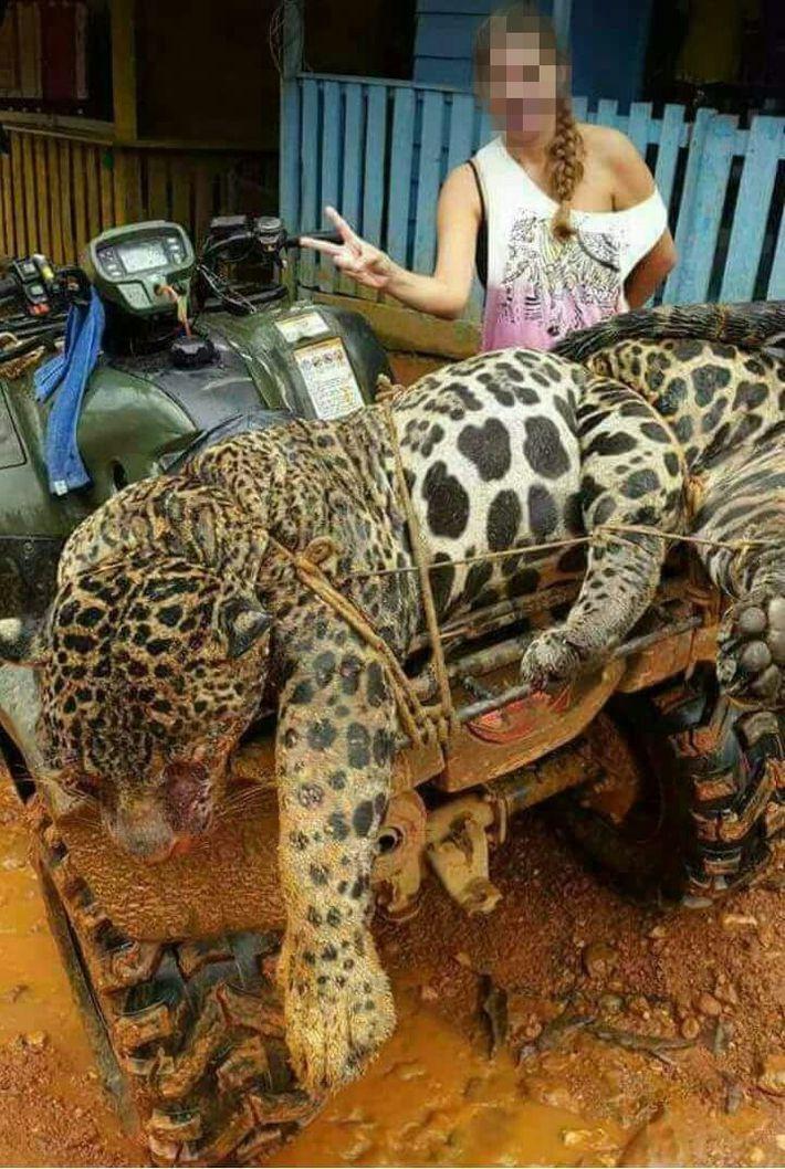 Jaguar muerto