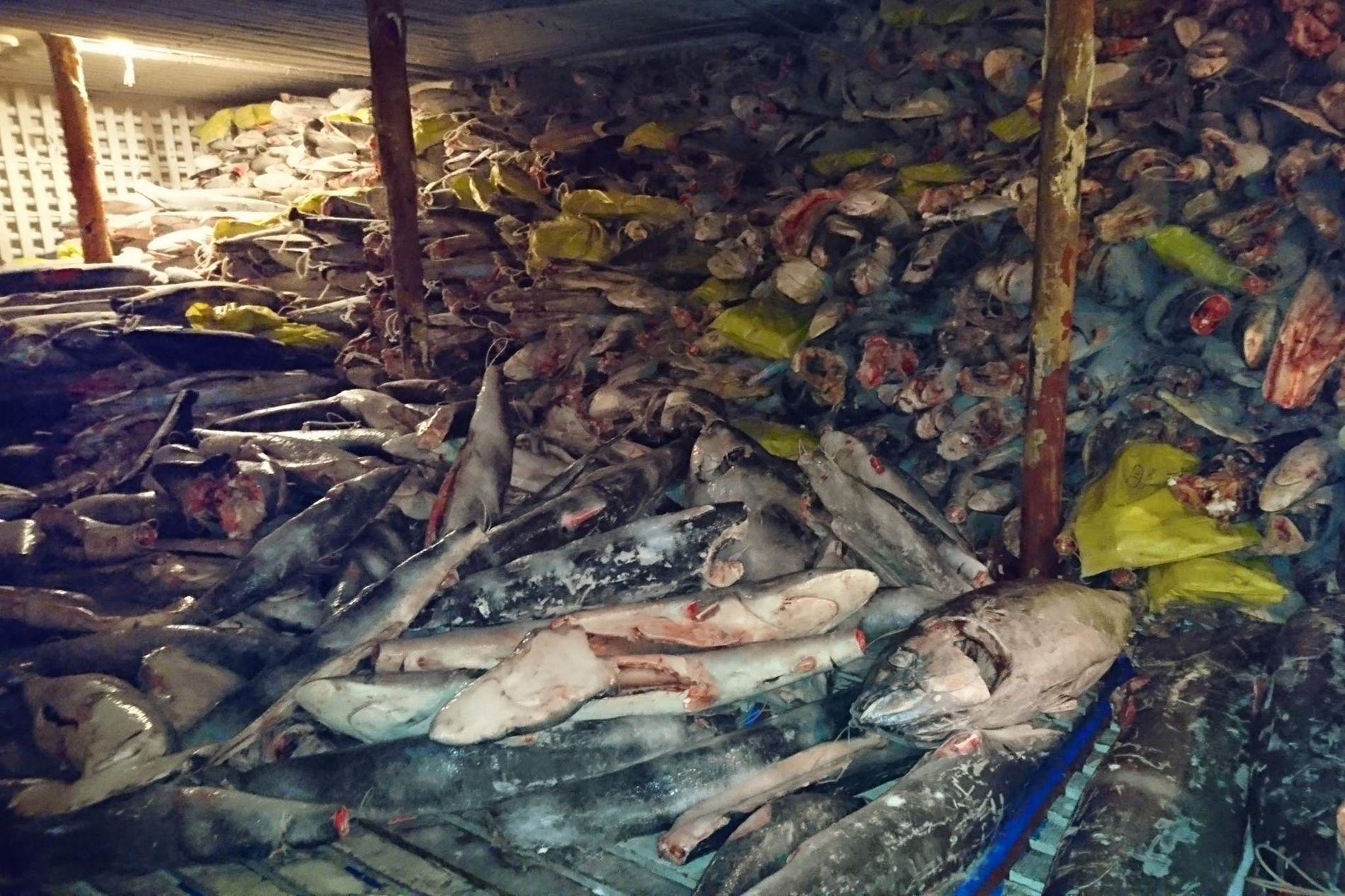 Tiburones pescados ilegalmente