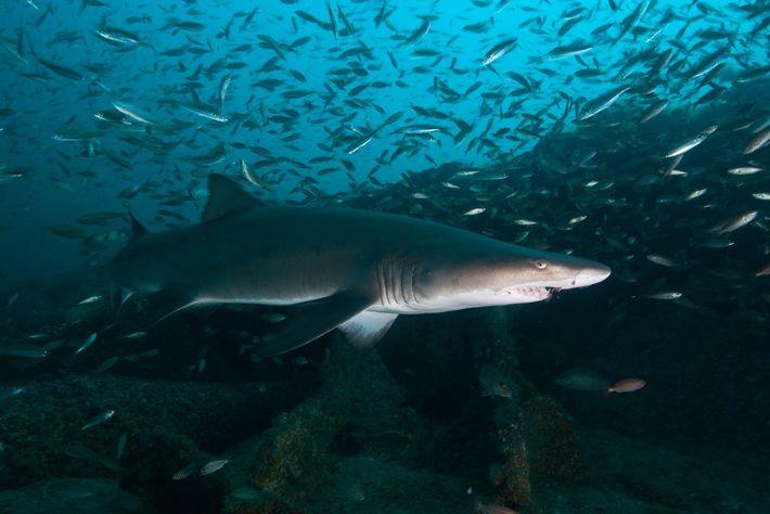 Tiburones toro