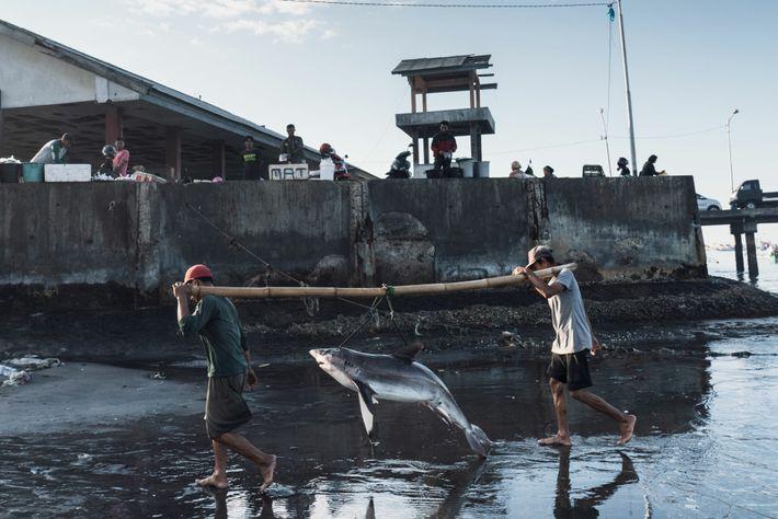 Los pescadores descargan a un tiburón en Tanjung Luar