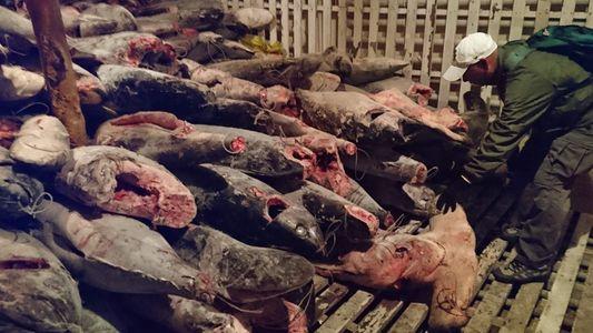 Interceptado en un barco chino un cargamento ilegal de miles de tiburones