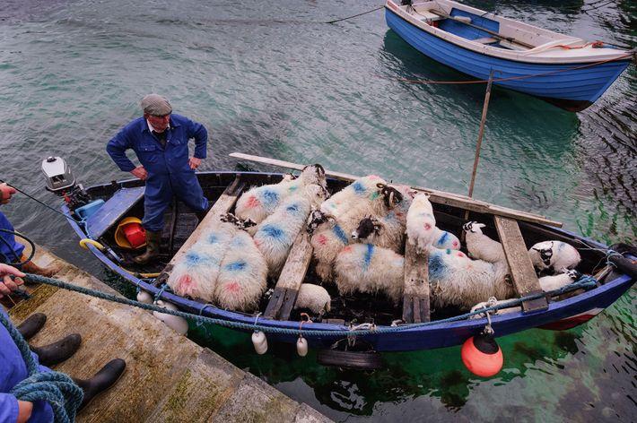 Ovejas en puerto de Valtos