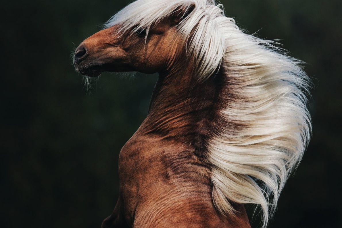 Un poni de las Shetland