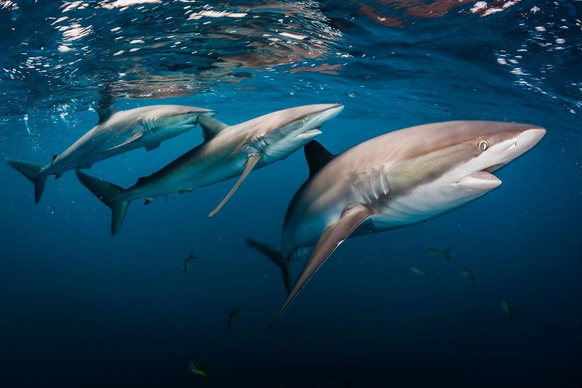 Tiburón sedoso