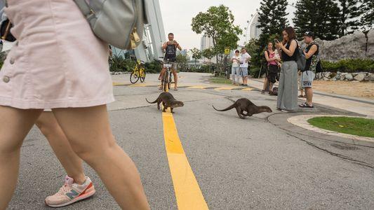 Las nutrias están adaptándose a la vida urbana en Singapur