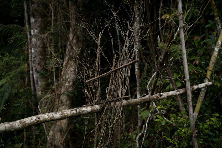 Trampa para lémures