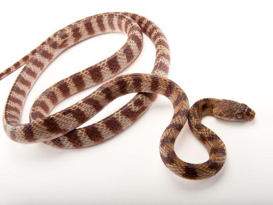 Estas serpientes invasoras pueden escalar formando un lazo con el cuerpo