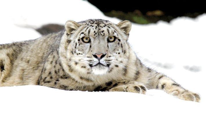 Leopardo de las nieves hembra