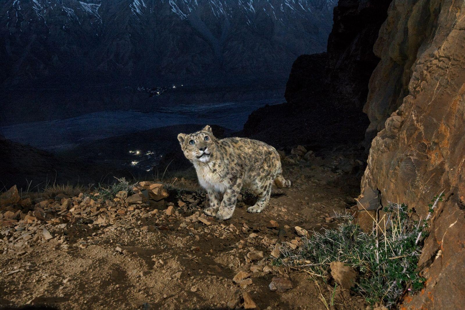 Fotografía de un leopardo de las nieves macho