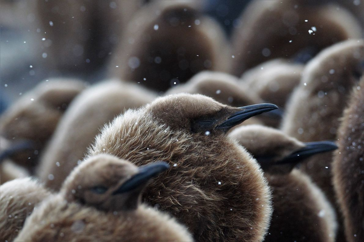Estos pingüinos rey bebés, de solo unas semanas de edad, estaban acurrucados para entrar en calor …
