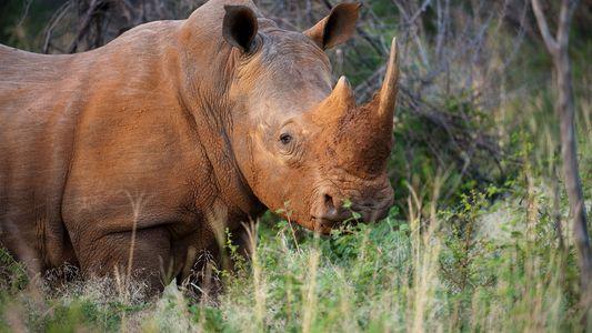 Rechazan la propuesta para liberalizar el comercio de cuerno de rinoceronte
