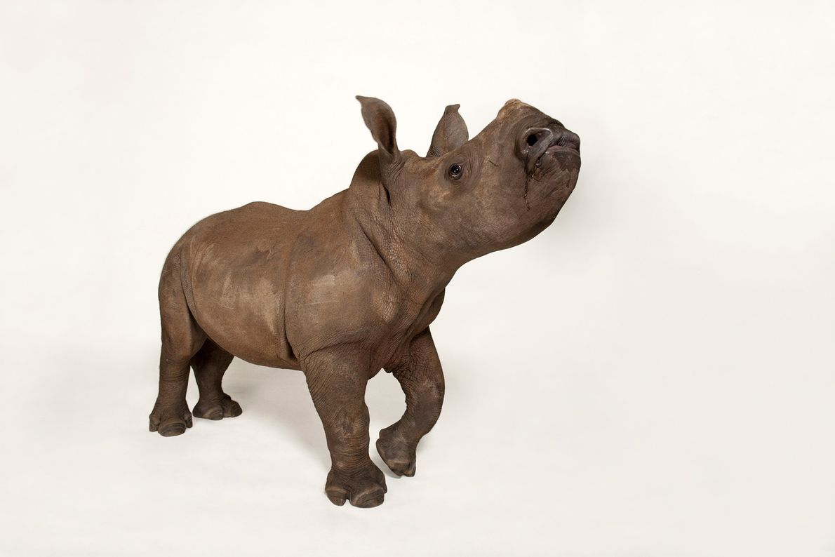 Rinoceronte blancos del sur