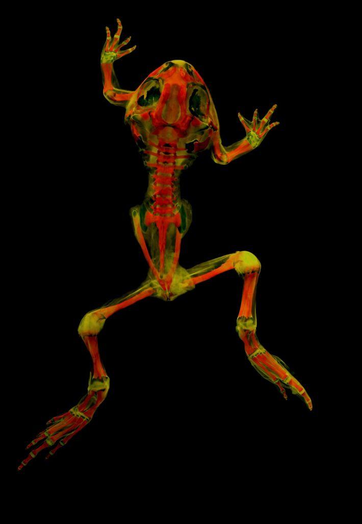 Esqueleto del sapo Spea bombifrons
