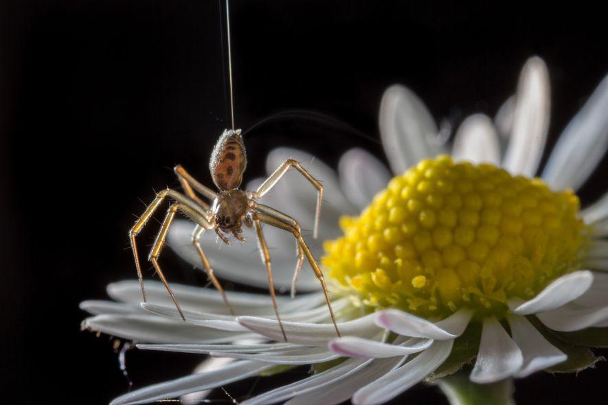 La Tenuiphantes sp. «de puntillas» en una margarita. Estas arañas pueden estar de puntillas y producen ...