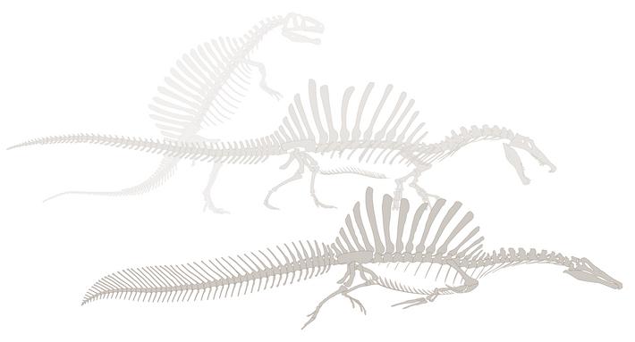 Cuando Stromer intentó reconstruir Spinosaurus en la década de 1930, completó los detalles con otros dinosaurios ...