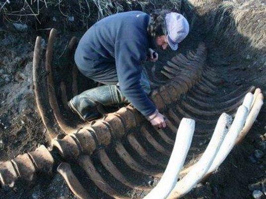 Descubierto el fósil de una enorme vaca marina extinta en una isla rusa