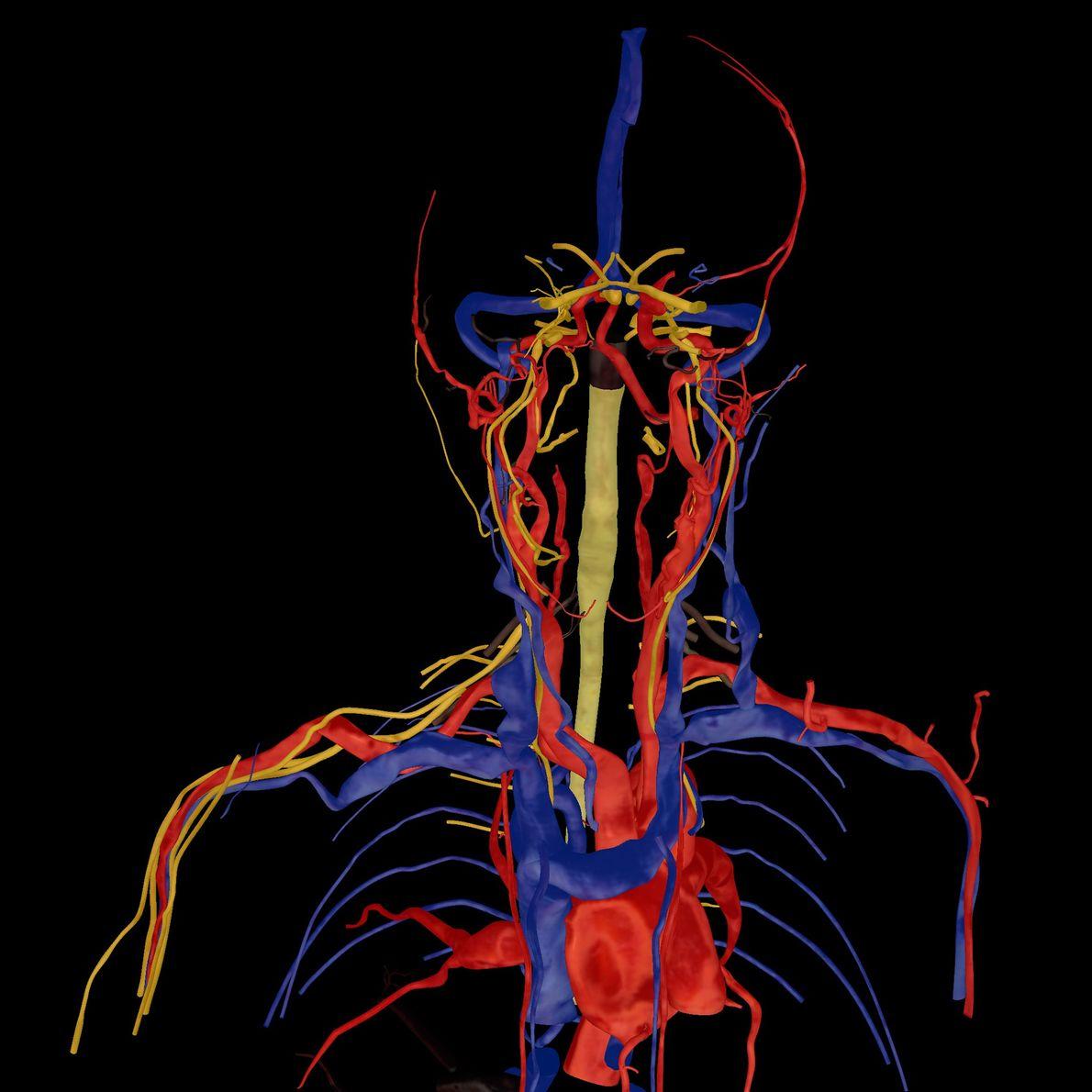 Corazón, arterias, venas y nervios