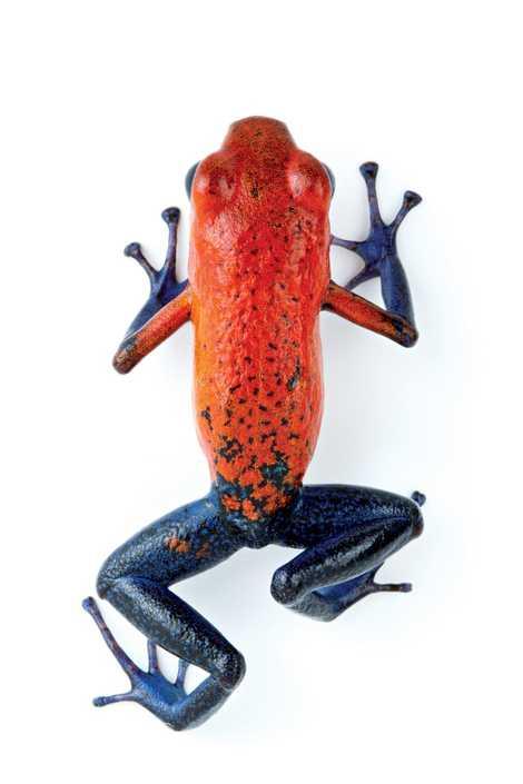 La piel de la rana flecha roja y azul genera toxinas con las que se protege ...