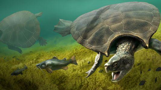 Descubren un fósil con cuernos de la tortuga gigante más grande que ha existido