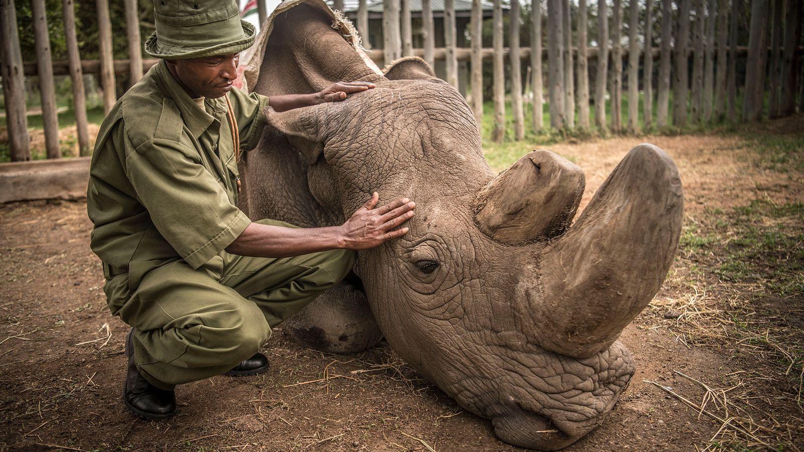 El rinoceronte blanco Sudan