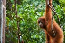 Un orangután de Sumatra con su cría